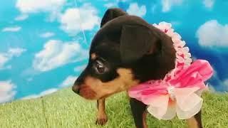 ペットショップ 犬の家 尼崎店 「86857:ミニチュア・ピンシャー」
