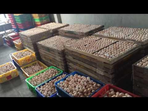 Bán gà con giống Phước Hưng - Ba Tri - Bến Tre.