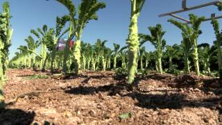 KALE PRODUCTION INCREASES IN YUMA