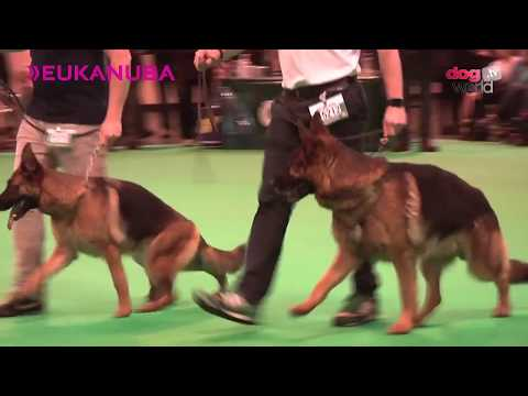 Crufts 2016 - German Shepherd Best of Breed