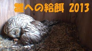 雛に給餌する♀親です。雛は、前日の早朝に孵化しました。 まだ1つは、卵...