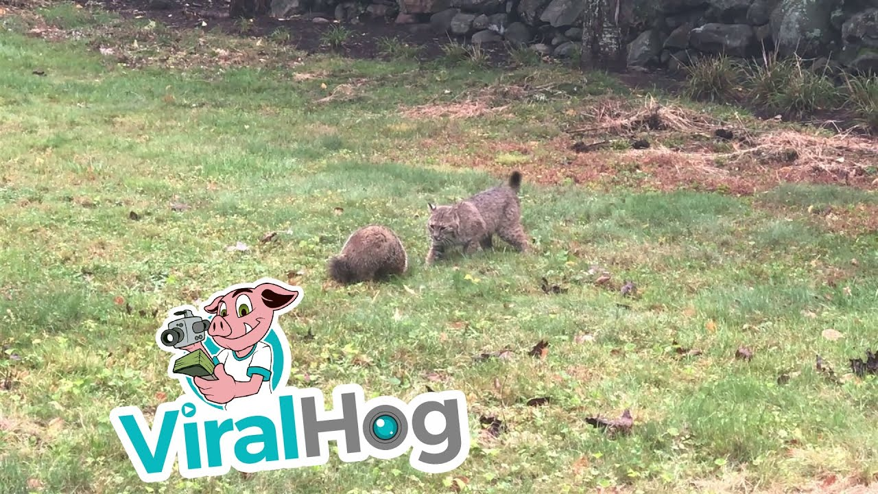 Download Groundhog Takes on Bobcat || ViralHog