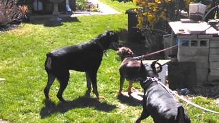 Vicious Pit Bull Rottweiler And Doberman