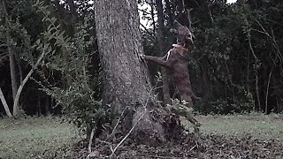 "Benson's King ""prime Time"" - Mountain Cur Pup On Squirrel Tree (benson's Kennel)"