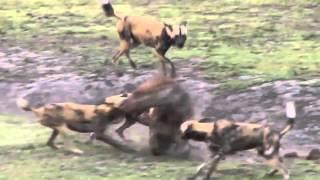 собаки рвут гиену