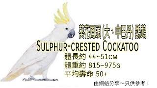 葵花鳳頭 (大、中巴丹) 鸚鵡 ~ (Greater) Sulphur-crested Cockatoo ↓按下文字介紹