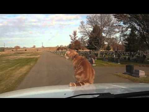 Crazy Cat Enjoys Riding On Hood Of A Car