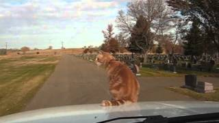 Daredevil Cat Rides On Hood Of Car
