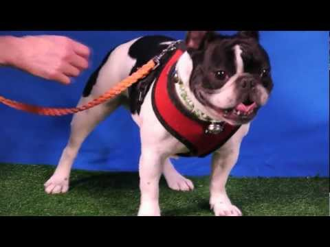 """Cute """"Bully Dog"""" Bubba May Be the Most Handsome Little Dog"""