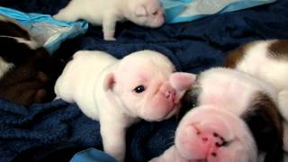 Bulldog puppies walking