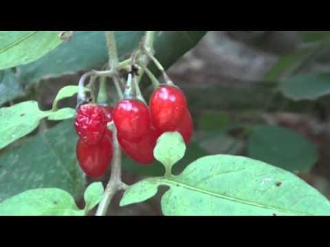 Solanum dulcamara. Sandoval de la Reina.