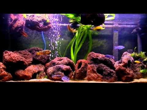 African Cichlids 240litre Tank With Lava Rock