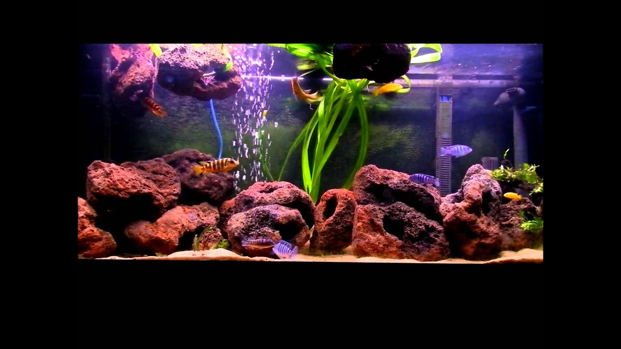 African cichlids 240litre tank with lava rock youtube for Lava rock fish tank