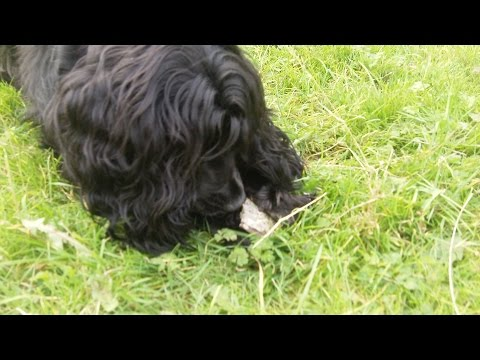Cocker Spaniel Millie  finds horse hoof and loves it.