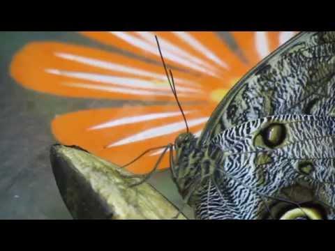 Тропические бабочки.