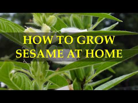 HOW TO GROW SESAME AT HOME