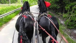 Cai frizieni 2018 trasura cu cai