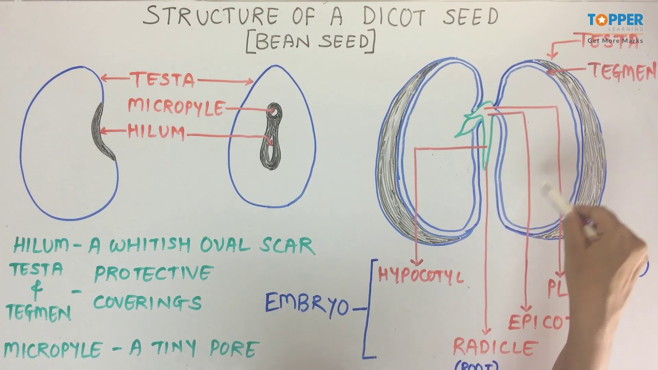 structure of a dicot seed icse class 9 biology youtube dicot seed diagram and function [ 1280 x 720 Pixel ]