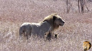 Casper The White Lion And Brother Hurt After Big Fight With Nsemani Lion