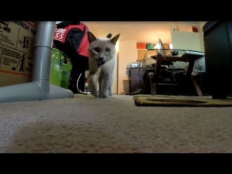 """Siamese Cat Fetches Like a dog """"SMART"""""""