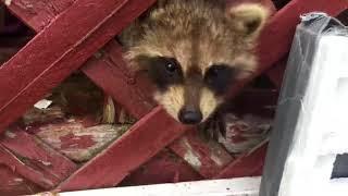 Orphaned Raccoons