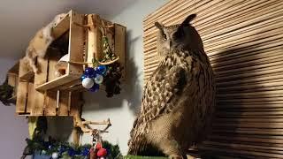 Когда в гости к сове приходят орнитологи и учат профессионально угукать.