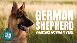 German Shepherd Dog Breed Guide | Dogs 101 - German Shepherd