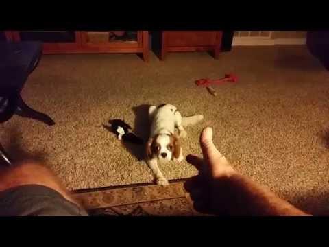 Cavalier King Charles Spaniel - Annie plays dead.