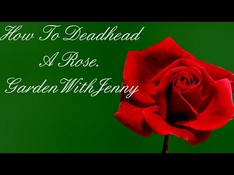 How To Deadhead A Rose