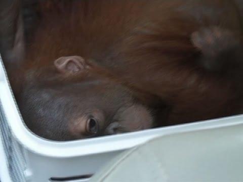 Thai Police Rescue Two Baby Orangutans