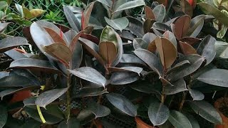 How To Care Rubber Plant ( Ficus elastica ) | Shade Loving Indoor Plant