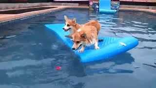 2 Pembroke Welsh Corgis Balancing On A Swimming Pool Float