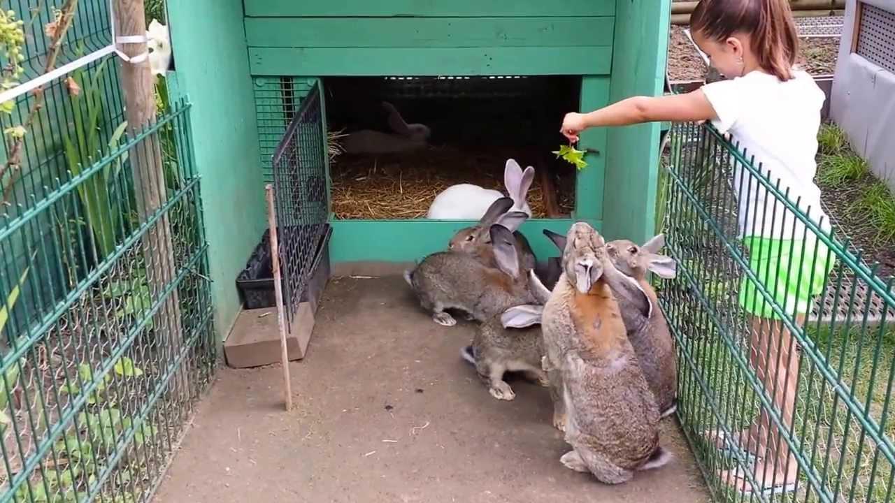 Assez lapin geant des flandres - YouTube EL63