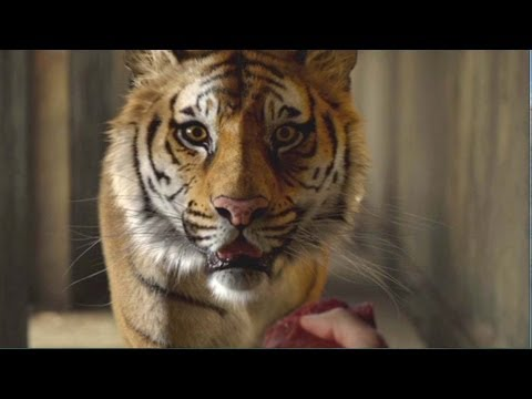 Life of pi movie clip 3 meet the tiger youtube for Life of pi characters animals