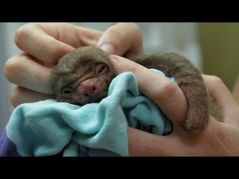 Tiny orphan baby sloth rescued | BBC Earth