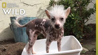An Emotionally Attached Chinese Crested   Dog: Impossible