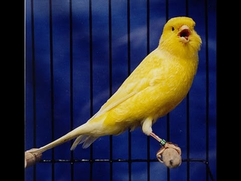 My Canary (Tweety) Singing a beautiful song.