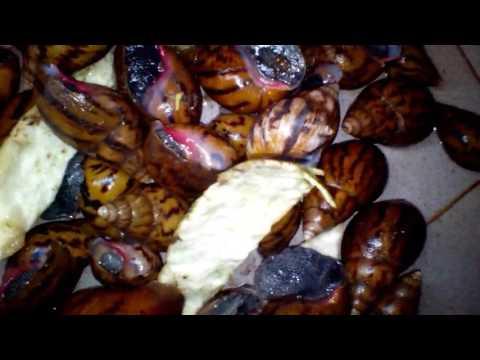 Achatina Achatina Snails in Nigeria