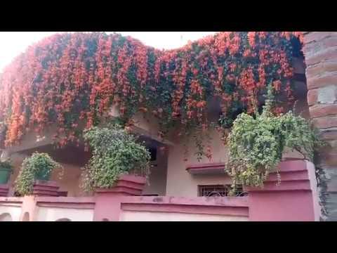 242-Beautiful Garden of Mrs. Seema & Dr. Vajpai/Blooming Pyrostegia Venusta /Flame Vine(Hindi/Urdu)