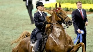 CH Bravo Blue - 2015 UPHA American Saddlebred Open Five-Gaited Horse of the Year