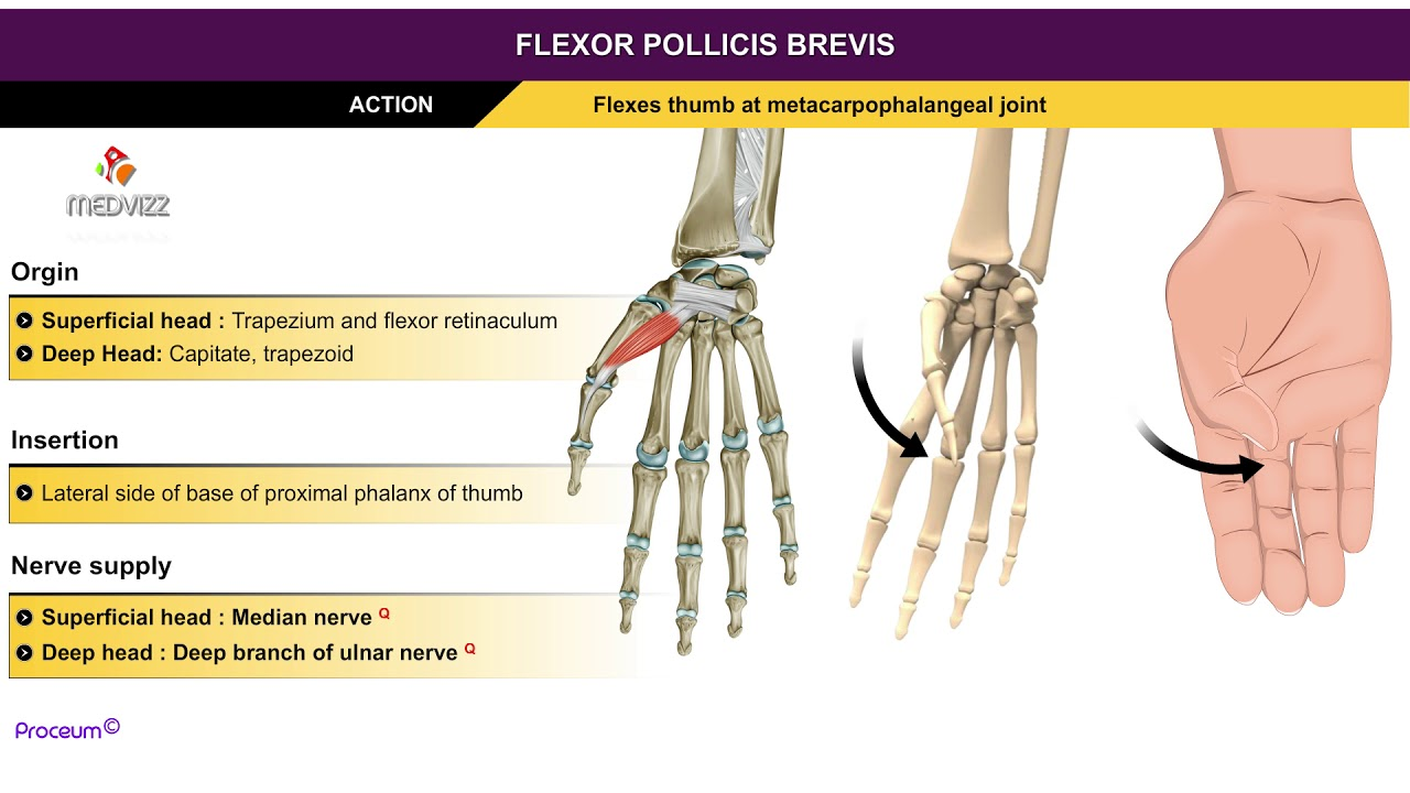 Flexor Pollicis Brevis Thenar Muscles Animation Without