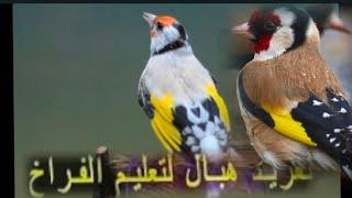 أجمل تغريدة للحسون ممكن تسمعها في حياتك (مقنين)  يحفز طيور ...