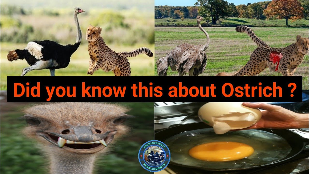 Amazing Facts About Ostrich | शुतुरमुर्ग के बारे में अनोखे तथ्य | Ostrich | Amazing Facts