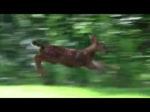 Playful Black-tailed Fawn Frolicking