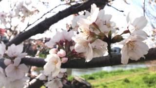 川嶋あいさんの名曲「旅立ちの日に」を、ヴォーカル・ヴァイオリン・ピアノ...