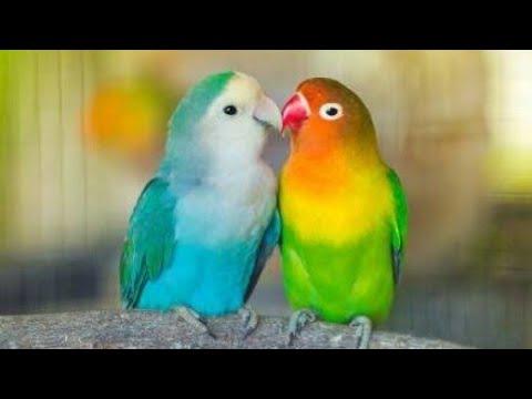 طيور الحب Youtube