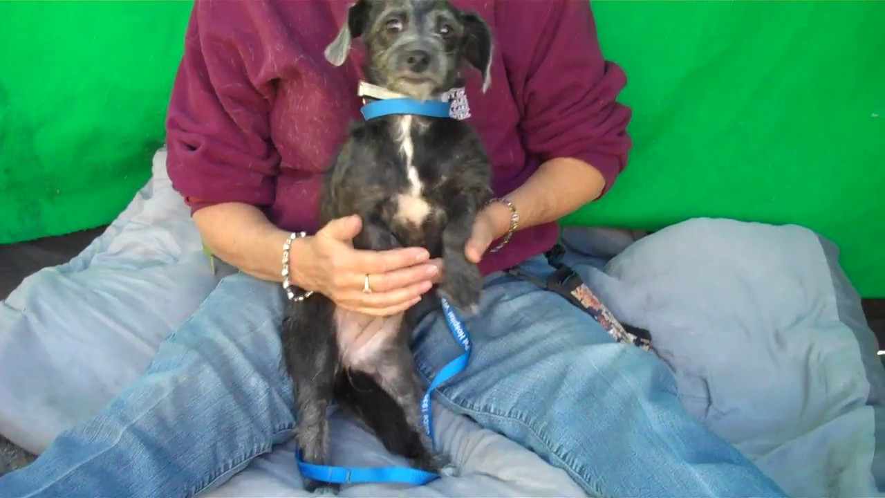 ADOPTED! A5016213 Birdie | Wire-Haired Dachshund / Terrier Mix Puppy ...