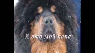 Тибетский мастиф щенок 28 дней.