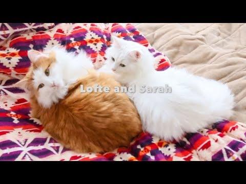 Play with  Princess Sarah じたばた姫ふたたび【Norwegian Forest Cat ノルウェージャンフォレストキャット】