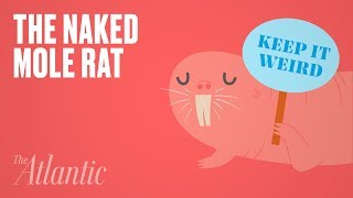 Why Is the Naked Mole Rat So Weird?
